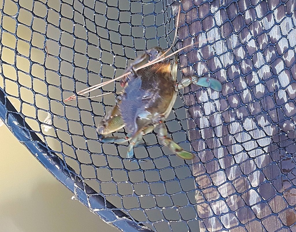crab in a net