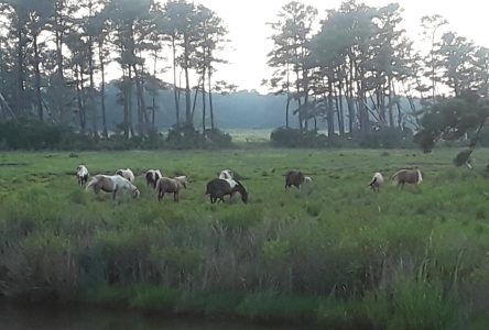 Where the Wild Ponies Are: Assateague National Seashore