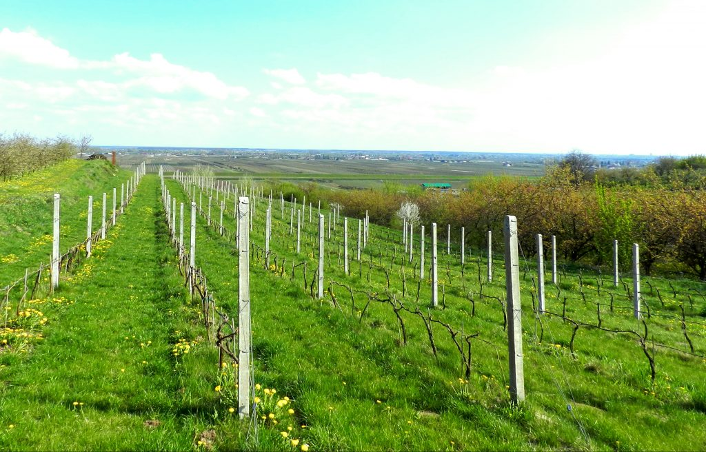 Vineyard near Sandomierz